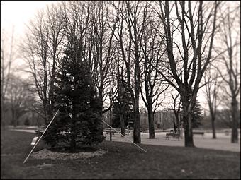 Séquoi fraîchement planté dans le Parc Kellermann. Photo: PHB/JDC