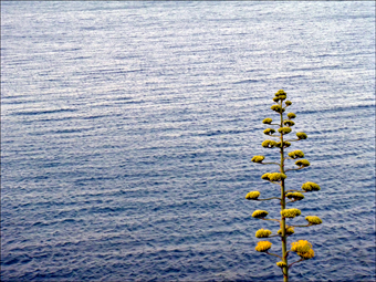 Agave en bordure de Méditerranée. Photo: PHB/JDC